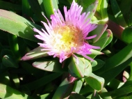 Ice Plant at Bodega Head
