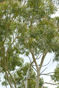 lemon-scented Gum Trees