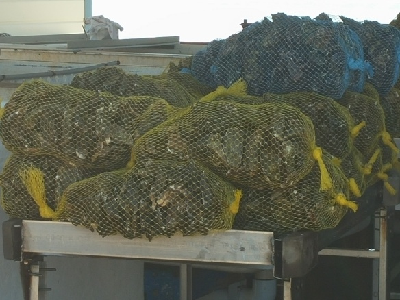 20150331_132643- bagged oysters