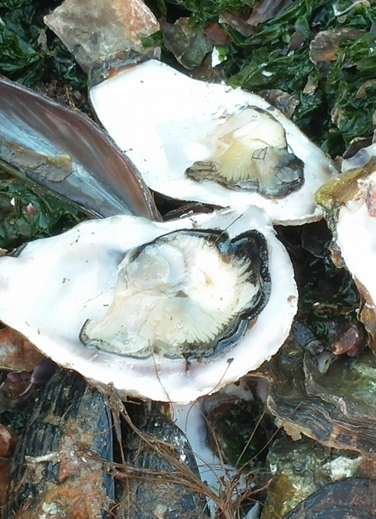 oysters in shell 2-2
