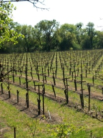 vineyards along Santa Rosa Creek Trail