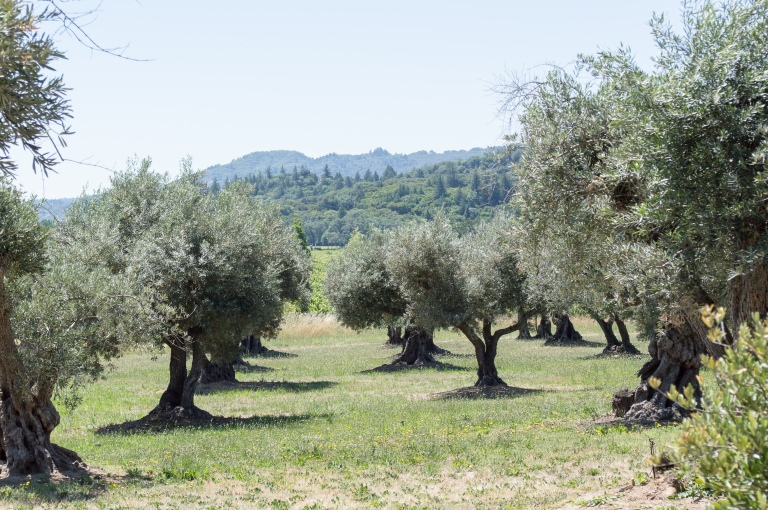 olive trees at saracina | whiskandmuddler.com