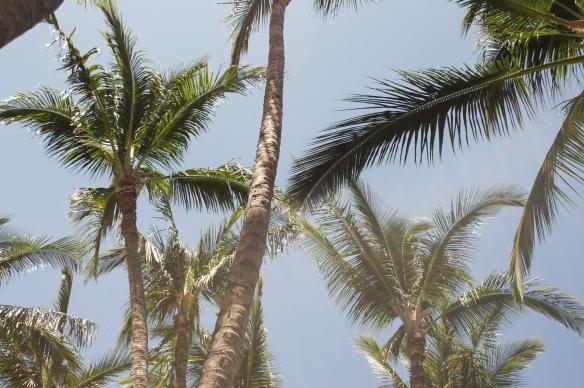 palm trees | hilton waikoloa | whiskandmuddler.com