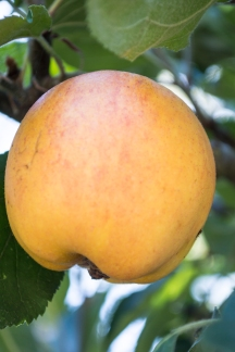 gravenstein apple   whiskandmuddler.com