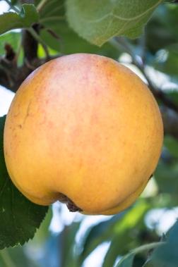 gravenstein apple | whiskandmuddler.com