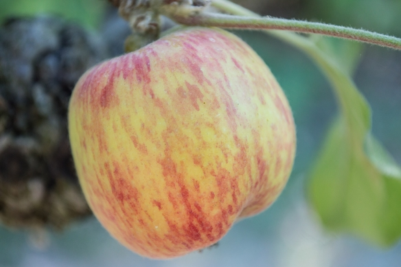 gravenstein apple | whiskandmuddler.com