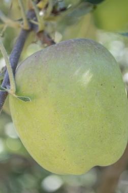 spitzenburg apple | whiskandmuddler.com