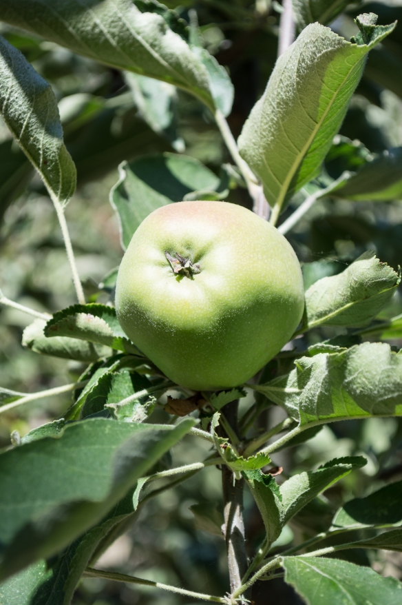 spitzenburg apple | whiskandmuddler.com