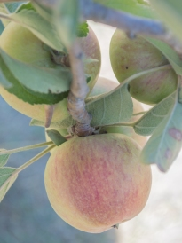 antique braeburn apple | whiskandmuddler.com