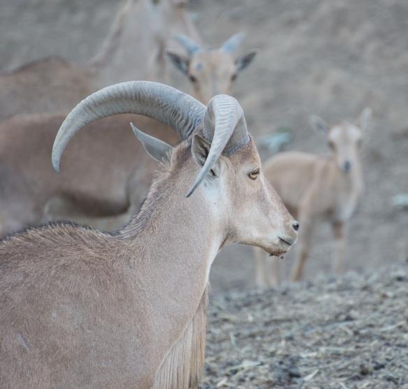 african mountain horned sheep safari west | whiskandmuddler.com