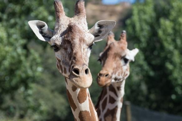 reticulated giraffes safari west | whiskandmuddler.com