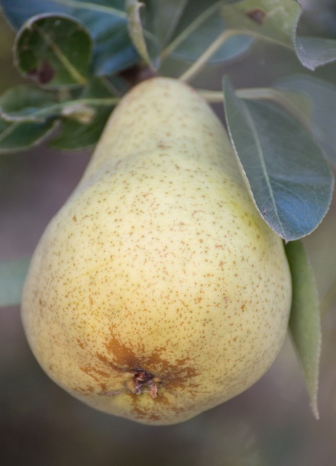 Marin French Pear Tree 3 | whiskandmuddler.com
