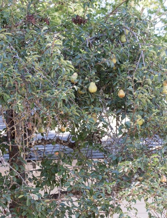 Marin French Pear Tree 4 | whiskandmuddler.com